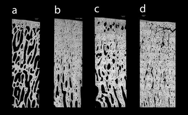 Image for Predicting how bone adapts under different racehorse training loads