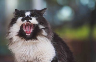 Black and white cat showing teeth from yawn