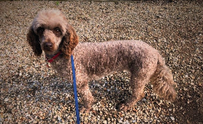Toy poodle Coco on leash