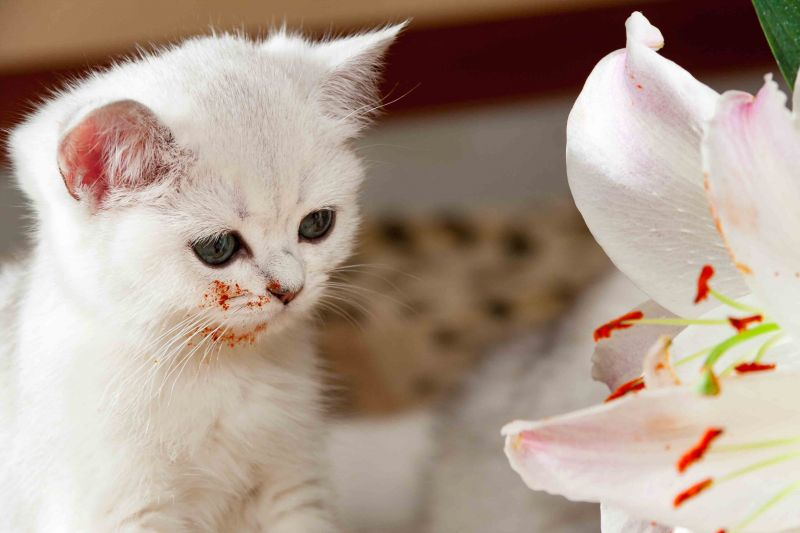 White kitten looking at a lily